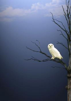 SnowyOwl in a bare branch tree, seen against a cloudy sky.: Picture, Animals, Nature, Beautiful, White Owls, Snow Owl, Snowy Owl, Birds, Photography