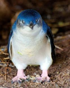 So bright, blue, and plump! Fairy Penguins are indeed fairies. - Imgur.  How have I not know about this?!!!: Habitat, Blue Penguins, Fairies, Animals Birds Penguins, Species, Smallest Penguins, Creatures, Fairy Penguins, Adorable
