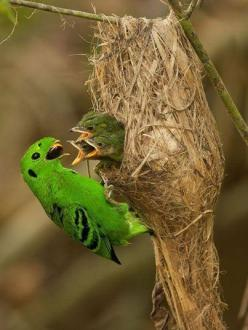 So pure: Creatures in nature know how to care for their young.(Green Broadbill): Green Broadbill, Animals, Google, Poultry, Baby, Beautiful Birds, Photo