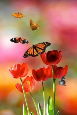 Social butterfly: Nature, Butterflies, Quote, Tulip, Beautiful, Flowers, Garden