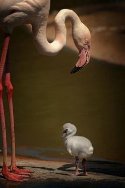"Some-kinda Flamingos (whatcha macallum) ~ Miks' Pics ""Fowl Feathered Friends V"" board @ http://www.pinterest.com/msmgish/fowl-feathered-friends-v/: Babies, Pink Flamingos, Mother, Baby Animals, Beautiful Birds, Baby Flamingos"