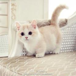 soooo cute!!!: Cats, Munchin Cat, Kitty Cat, Munchkin Cat, Short Legged Cat, Cute Kitten, Munchkin Kitten, Cute Cat, Animal