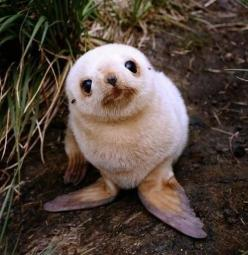 sooooo cute: Seals, Adorable Animals, Creature, So Cute, Sea Lion, Baby Animals, Baby Seal