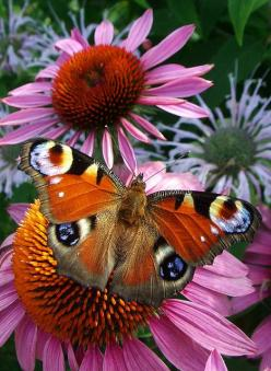 Source: sun-stones - http://sun-stones.tumblr.com/post/14785246770/peacock-butterfly-by-pavlo-kuzyk-on-flickr: Beautiful Butterflies, Google, Cone Flowers, Coneflowers Stunning, Butterfly Peacock Butterfly, Flowers Garden, Bellas Mariposas