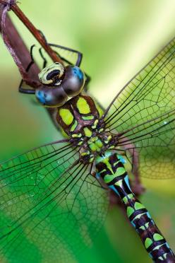 Southern Hawker Dragonfly: Macro, Green, Beautiful, Southern Hawker, Animals Insects Nature, Dragonflies Insects