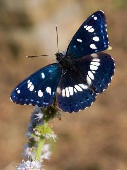 Southern White Admiral Butterfly... Adorable might not be quite the right word, but it is definitely beautiful!: Beautiful Butterflies, Flutterby, Southern White