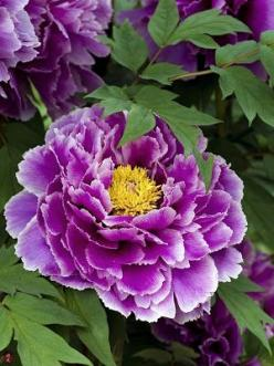 Spring Peony The colour is sensational. A flower that gives you everlasting value. Timeless and immortal.: Flowers Peonies, Color, Spring Peony, Purple Peonies, Flower Power, Beautiful Flowers, Flowers, Flowers Garden, Purple Peony