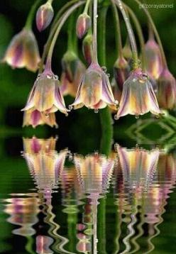 Spring reflections: Nectaroscordum siculum ssp. bulgaricum: Bells Reflecting, Spring Reflection, Spring Flower, Nature, Beautiful Flowers, Photo, Beautiful Reflection, Flower Reflection