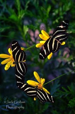 Ssss!...Uhm Look Sister, This Place Is Really Cute...Samisomar's Pinterests Are So Friendly !... http://samissomarspace.wordpress.com: Beautiful Butterflies, Jack O'Connell, Zebra Butterflies, Zebra Longwing
