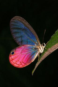 Ssss!...Uhm, This Place Is Really Attractive...Samissomar's Pinterests Are So Colorful !... http://samissomarspace.wordpress.com: Beautiful Butterflies, Butterfly, Cithaerias Aurorina, Flutterby, Wing Butterfly, Glass Wing, Animal