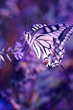 Ssss!...Uhm, This Place Is Really Attractive...Samissomar's Pinterests Are So Friendly !... http://samissomarspace.wordpress.com: Beautiful Butterflies, Nature, Purple Butterfly, Purple Passion, Wallpapers, Color Purple, Flower, Animal