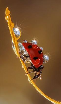 Ssss!...Uhm, This Place Looks Really Nice...Samissomar's Pinterests Are So Coool !... http://samissomarspace.wordpress.com: Ladybird, Animals, Nature, Ladybugs, Ladybird, Dew Drops, Lady Bugs, Water Drop