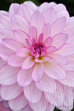 STF2679- DAHLIA 'ORIENTAL DREAM' : Asset Details -Garden World Images http://www.gardenworldimages.com: Pink Flowers, Dahlias, Oriental Dream, White Garden, Beautiful Flowers, Dahlia Oriental, Pretty Flower