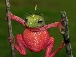Strawberry Frog is a species of small amphibian poison dart frog found in Central America.: Animals, Poison Dart Frogs, Strawberries, Photo Manipulation, Small Amphibian, Central America, Amphibian Poison