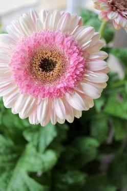 "STRAWBERRY LOLLIPOP GERBERA DAISY: 1) Perennial in zones 8-11 otherwise an annual 2) 18"" flower stalks 3) full sun 4) Attracts butterflies & hummingbirds 5) Use in containers or cottage gardens: Gerber Daisies, Gerbera Daisies, Gerbera Daisy, Gerb"