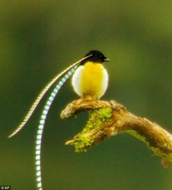 Striking: Adult male King of Saxony Bird of Paradise is seen at a calling perch in Papua New Guinea: Adult Male, Animals, Poultry, Birdie, Bird Of Paradise, Beautiful Birds, Saxony Bird