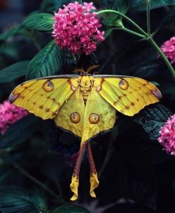 Stunning! #butterfly #moth #flowers ...looks like she's rockin' long legs and heels: Butterfly, Moon Moth, Luna Moth, Butterflies, Nature, Beautiful, Animal