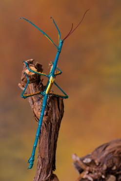 Stunning Macro Pictures of Insects by Wil Mijer: Blue Stick, Bugs, Stick Bug, Insects, Walking Sticks, Blue Walking, Animal