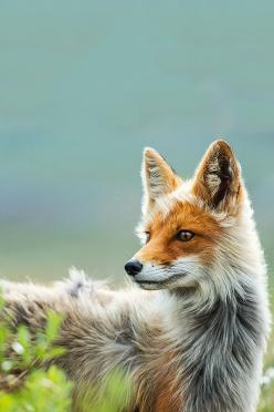 Such a gorgeous coloured fox! I could look at pictures of foxes for hours...: Fox Picture, Arctic Fox, Silver Foxes, Amazing Animal, Animals Foxes, Red Fox, Pet Fox