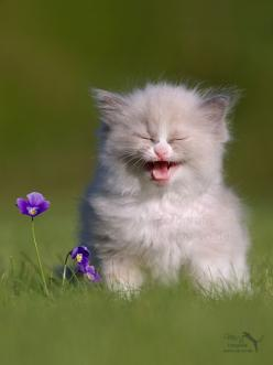 Such A pick me up for a anxious mood amazing how much joy animals bring us: Cats, Animals, Kitty Cat, Fluffy Kitten, Pet, Funny, Kitty Kitty, Kittens