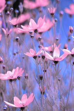 ✯ Summer Meadow: Pink Flowers, Color, Blue, Posts, Beautiful Flowers, Gardens, Beauty, Flower, Wild Flowers