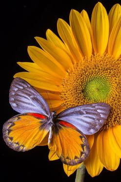 Sunflower With Butterfly By Garry Gay: Beautiful Butterflies, Butterfly, Color, Sunflowers, Garry Gay, Moth