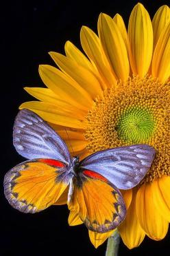 Sunflower with Butterfly Source: http://fineartamerica.com/featured/sunflower-with-gray-orange-butterfly-garry-gay.html: Beautiful Butterflies, Butterfly, Color, Sunflowers, Garry Gay, Moth