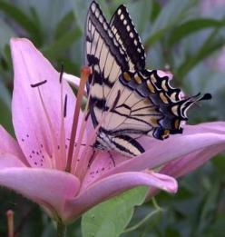 Swallowtail on pink lily / This is the type of photograph that brings out an oooh or awwww. It is so gentle and beautiful.: Pink Flower, Beautiful Butterflies, Butterfly, Flutterby, Flowers