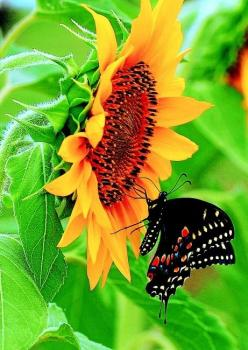 Swallowtail on Sunflower by Felice Bond via Birds and Blooms.: Beautiful Butterflies, Nature, Sunflowers, Garden, Animal