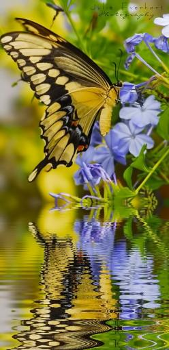 ~~Swallowtail Reflections ~ gorgeous butterfly by Julie Everhart~~: Beautiful Butterflies, Swallowtail Reflections, Julie Everhart, Flutterby, Swallowtail Butterfly, Butterfly Moth