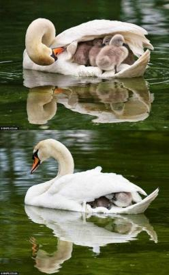 Swan providing shelter under her wing..: Babies, Nature Animals, Mute Swan, Babies Beautiful, Amazing Animals, Birds, Nature And Animals