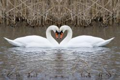 Swans are one of the few animals that can feel love very deeply. Swans therefore represent Aphrodite.: Life, 11 Animals, White Swan, Birds, Photo, Beautiful Swans, Beautiful Creatures