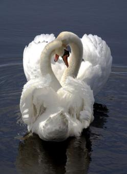 Swans in Love. When I was little, to me, swans were the most beautiful creatures on earth. I was always heartened by the 'Ugly Duckling' story and hoped I'd turn into a swan someday. Never happened! HA!: Animals, In Love, Nature, White, Beauti