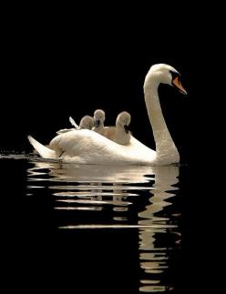 Swans; these are not our swans from Sweden but I think they are so beautiful so I repined them: Animals, Mothers, Sweet, Beautiful Birds, Baby