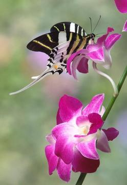 Swordtail Symphony: Beautiful Butterflies, Flutterby, Flowers, Garden, Swordtail Symphony