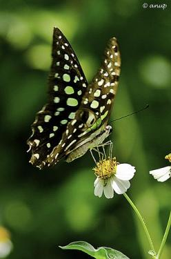 Tailed Jay (Graphium agamemnon) Butterfly (by anup PHOTOGRAPHY): Butterfly Photography, Butterflies Dragonflies Wingin, Butterflies Mariposas, Anup Photography