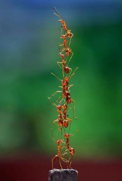 Teamwork by Fahmi Bhs, dailyexpress.co.uk: Ants forming a tower to reach the top of a bird cage they were being kept in. #Photography #Ants: Amazing, Animals, Teamwork, Nature, Bugs, Ants, Insects, Photo, Team Work