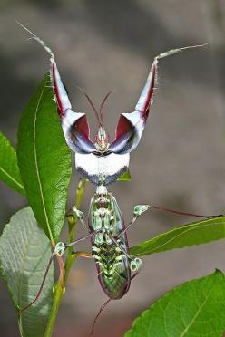 Teufelsblume Idolomantis diabolica, commonly known as the Devil's Flower Mantis or Giant Devil's Flower Mantis, is one of the largest species of praying mantis, if not the largest that mimic flowers.  It is the only species classified under the ge