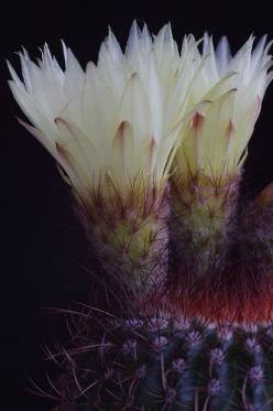 Texture : Flower / Fleur. Looks like the Golden Barrel Cactus Flower.: Cactus Succulent, Flowers Plants, Beautiful Flowers, Cactus Flower, Garden, Cacti Succulents, Tiny Cactus