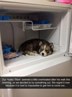 That's probably because he suffers from the heat even in normal circumstances, never mind when he's been exercising. Please please people, realize these type of animals are meant for cold climates and SUFFER in warm ones.: Animals, Dogs, Pet, Thin