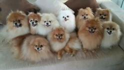 That is a lot of Poms!: Obsession Pomeranians, Pompom, Loves Pomeranians, Adorable Puppies, Pomeranian Puppies, Pom Pom, Pixels, Animal, Pomeranian Puppy
