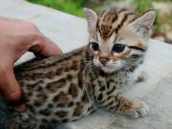 That is so not real but sooooo cute if it was! Unless cheetahs or leopards are born that tiny? No, right?: Cats, Animals, So Cute, Bengal Cat, Pet, Kittens, Baby, Kitty