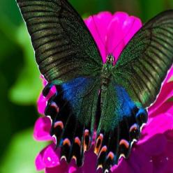 The Alpine Black Swallowtail (Papilio maackii) is a butterfly of the family Papilionidae. It is found in Asia, in Japan, China and South Korea.: Beautiful Butterflies, Color, Flutterby, Photo, Moth, Animal