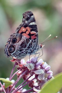 The American Painted Lady or American Lady (Vanessa virginiensis) is found throughout North America.  Lives in the flowery habitats, usually the mountains°°: Beautiful Butterflies, Butterflies Dragonflies, Butterflies, Flutterby, Animal