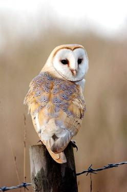The Barn Owl is one of the most mysterious birds in the world. The bird is also the most widely disseminated and is found all over the world. The owls make a funny sound that can be heard kilometres away in the night. They have deep sited eyes with a dist