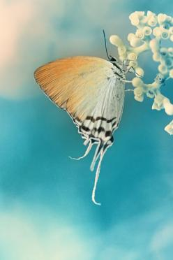 the beauty of the butterfly to me symbolizes rebirth, renewal, happiness, and profound changes of the soul <3 I can't help but stop, smile, and think of my mother whenever I see one :): Arief Perdana, Beautiful Butterflies, Flutterby, Moth, Animal