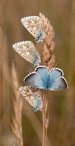 The best colour-combinations are always found in nature..cuz Someone smarter who created it all.. thought em all up. Where there colors before Him? Nope. bgeaDOTorg: Colour Combinations, Butterfly, Blue Butterflies, Blue Butterfly, Color, Chalkhill Blues,