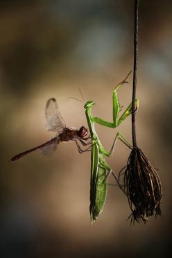 """""""THE BEST ENEMIES"""" (Nature) - This photo is from a scene quite incredible that I saw a few days ago. A dragonfly (sympetrum) further weakened by the freshness of the morning, came deliberately to hang on this Praying Mantis that had landed on a broken flo"""