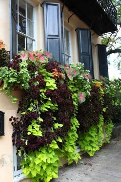 The best window box is the one you can't see. Whatever you planted in there should be so happy that it cascades down the wall to spill onto the sidewalk, threatening to trip passersby. Coleus, sweet potato vine, and caladium: They like a little shade,