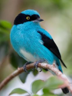 The Black-faced Dacnis (Dacnis lineata) is a species of bird in the Thraupidae family. It is found in humid forest in the Amazon and the Chocó-Magdalena. The latter population has a yellow (not white) belly and is sometimes considered a separate species,